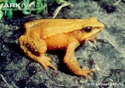 Mucubaji-stubfoot-toad