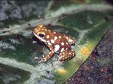 Polkadot Poison Frog