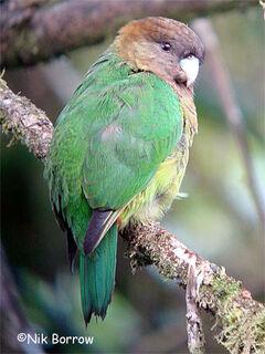 Modest-Tiger-Parrot