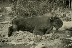 CaucasianBison-Demidoff1898