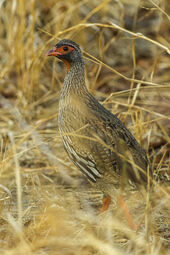 Red-necked Francolin - Malawi S4E2852 (15362427470)