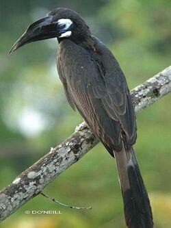 Hornbill scrested male dscn7767