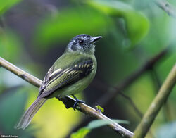 Slaty-capped-Flycatcher-tbl 2204