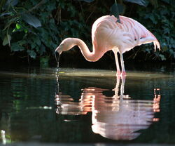 A Chilean Flamingo At Adelaide Zoo