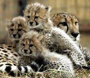 Cheetahcubs