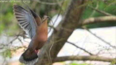 Endangered Species-Socorro Dove
