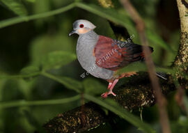 Geotrygon versicolor Crested Quail-dove 1009 c Greg and Yvonne Dean WorldWildlifeImages com