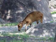 Lowland-anoa calf