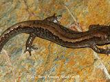 Siberian Salamander