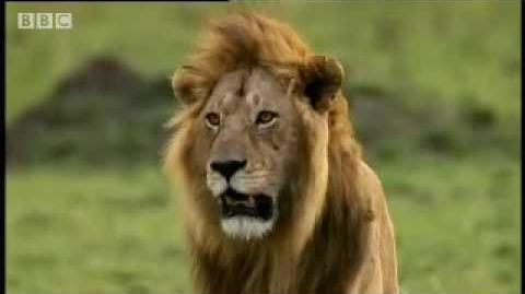 Cheetah vs lion - BBC wildlife