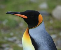 King Penguin Closeup