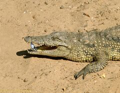 01080-Crocodile-with-Egyptian-Plover