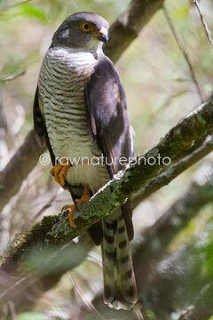 Little-Sparrowhawk-4865-2087360932
