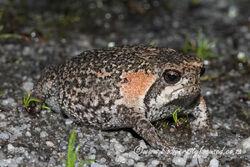 Cape-Mountain-Rain-Frog-Breviceps-montanus-5
