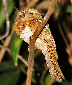 Blyths-Frogmouth