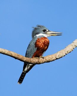 IMG 8001 Ringed kingfisher ed 50