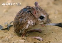 Lesser-Egyptian-jerboa-side-view