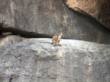 Cape York Rock-wallaby