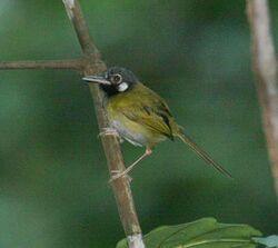 Whiteeared tailorbird 1 rh