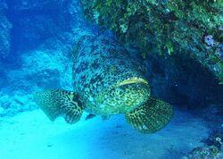 Atlantic Grouper