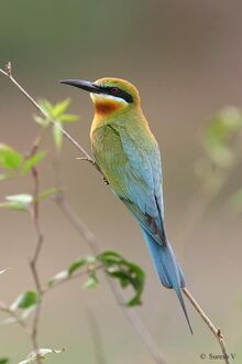 Beeeater blue tailed 19