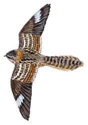 05 34 081 Caprimulgus fossii flying m