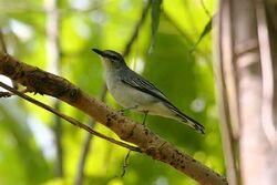 Pale-cicadabird-5