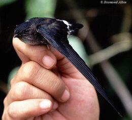 Pygmy-swiftlet