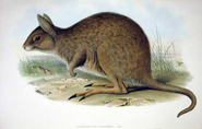 Illustration of the Eastern Hare Wallaby