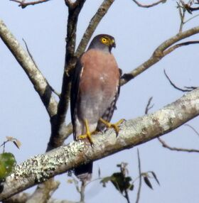 Vinousbreasted sparrowhawk 003