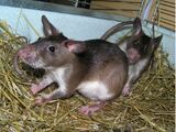 Emin's Pouched Rat