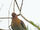 Cinnamon-headed Green Pigeon