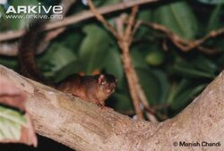 Nicobar-treeshrew-on-branch