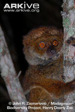Betsileo-woolly-lemur