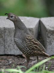 Birds-Quail-California-female-photo