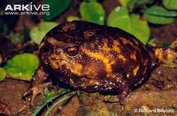 Forest-rain-frog