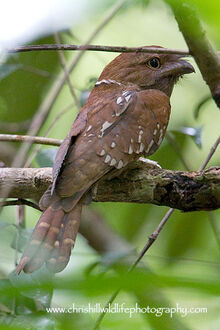 Gouldsfrogmouth1