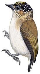 07 25 028 Picumnus granadensis granadensis m