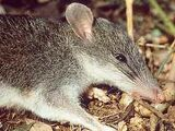 Isarog Shrew Rat