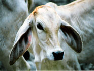 A Brahman calf