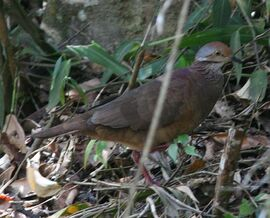Lines Quail-Dove AV MP