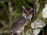 Everett's Scops Owl