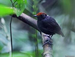 Chestnut-crowned-Gnateater-male-wildsumaco 9664