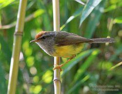 Broadbilled warbler1