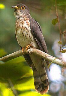 Whistling hawk-cuckoo - hierococcyx nisicolor