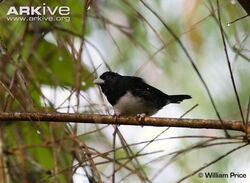 Male-cone-billed-tanager-in-habitat