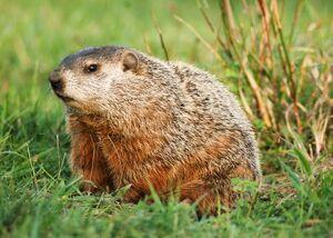 Groundhog-day-groundhog 12530 600x450