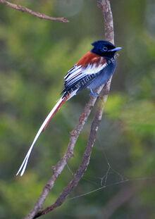 Terpsiphone viridis ferreti African Paradise-flycatcher 0085 c Greg and Yvonne Dean WorldWildlifeImages com