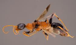 Ampulex dementor holotype