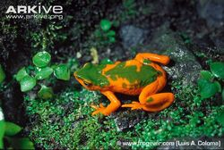Onores-harlequin-frog